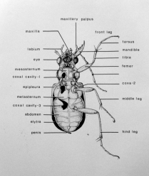 Beetle by Alice M Hill